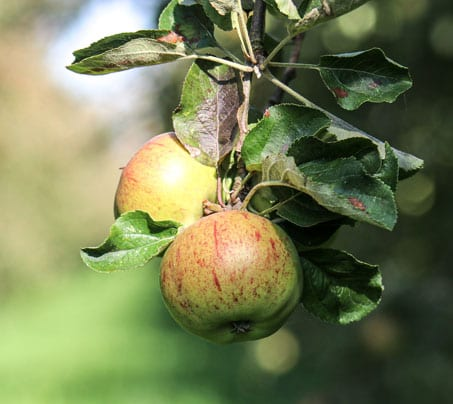 Cider apples hanging from Castle farm orchards