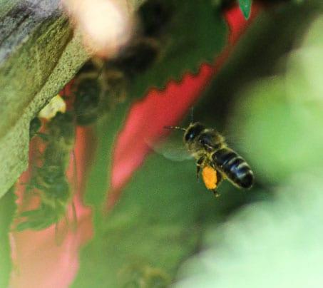 Bees flying at Castle Farm - stoke sub hamdon