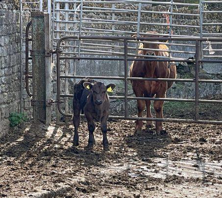 Dave's New Calves - Castle Farm